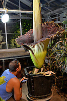 Dan Waletzko, UWRF greenhouse manager, checks on the Corpse Flower as it blooms at UW-River Falls for the second time since 2001. The last time it bloomed was in October 2010.<br /> <br /> Photo by Deb Toftness