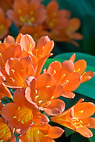 Clivia miniata Belgian Orange Hybrid with headroom for text