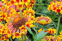Gaillardia 'Galloway' similar to 'Fanfare' creates sense of excitement in the garden