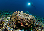 A diver looks on at a giant stonefish: Synanceia verrucosa, Gorontalo, Sulawesi Indonesia