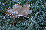 A shallow depth of field of a Maple leaf on frost covered grass.