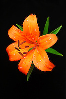 Orange Asiatic Lily against Black Background