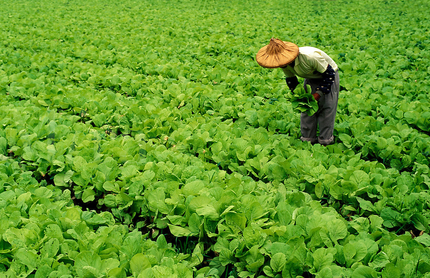 Taiwan.  Farmer picking some leaves from his crop of Chinese spinach.