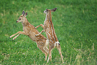 Mule deer fawns during summer in Wyoming