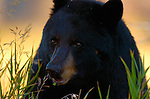 Black Bear Close Portrait, Elk Creek, Yellowstone National Park, Wyoming