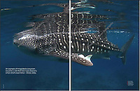Double spread of a whale shark image for 2013 big blue book for Asian Diver.