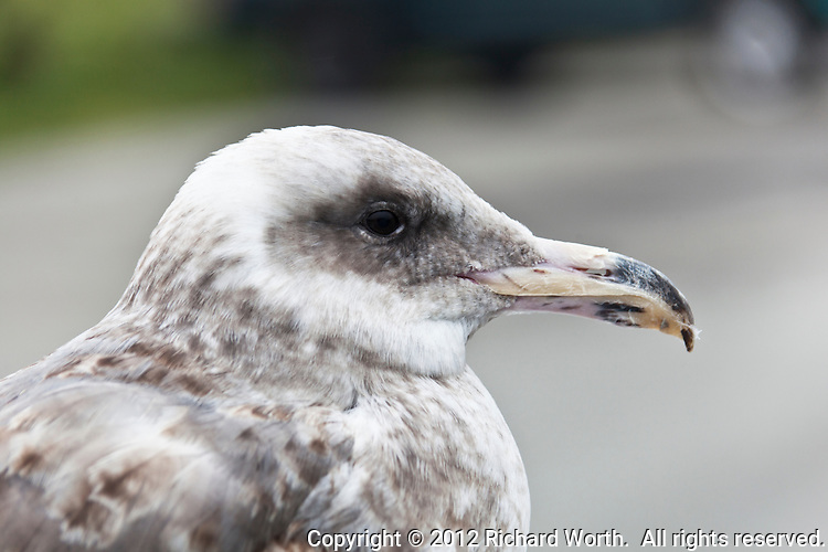 Close-up of gull at Pomponio State Beach south of Half Moon Bay on the California coast.
