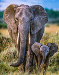 African elephant cow and calf, Amboseli National Park, Kenya