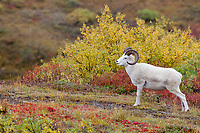 Dall sheep ram in the brightly colored autumn tundra near Polychrome pass in Denali National Park, Alaska.