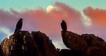 Galapagos Islands, Ecuador , Galapagos hawk (Buteo galapagoensis)