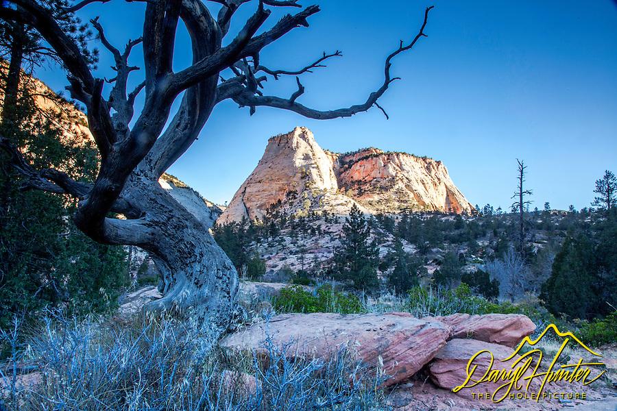 Tortured Tree, Sunrise, Checkerboard Mesa,  Zion National Park