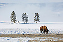 WY00468-00...WYOMING - Bison in Yellowstone National Park.
