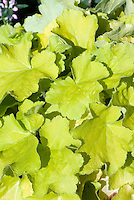 Heuchera Citronelle showing many golden green yellow leaves