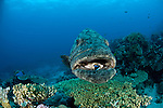 Potato cod (Epinephelus tukula) with cleaner wrasse