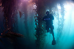 Diver in Kelp forest, Beagle Channel, Ushuaia, Southern Argentina