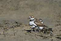 554550030 a wild adult killdeer charadrius vociferous provides protection for its very young chicks in a dry lake bed in ventura county california united states