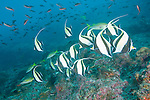Cocos Island, Costa Rica; a school of Moorish Idol (Zanclus cornutus) swimming over the rocky reef, while a school of Pacific Creolefish (Paranthias colonus) swim overhead