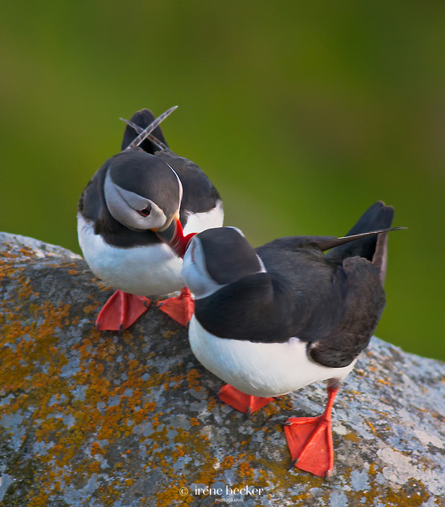 Let me touch you for a while<br /> Puffins at the Norwegian bird-island Runde, M&oslash;re og Romsdal, Norway.