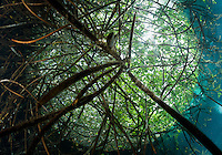 RX0544-D. upward view from underneath roots of mangroves near a cenote. Riviera Maya, Yucatan Peninsula, Mexico.<br /> Photo Copyright &copy; Brandon Cole. All rights reserved worldwide.  www.brandoncole.com