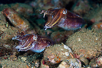 Cuttlefish will pair up when mating, and the males will fight of other suitors and protect his female.  Like all cephalopods, they are capable of rapid color changes for camouflage and signalling.