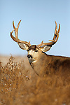 Big Mule Deer Buck