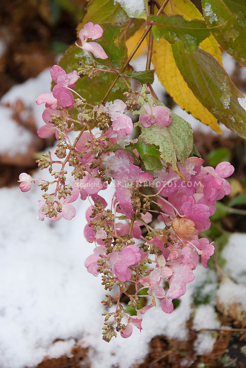 Flowers covered in snow - Hydrangea paniculata Pinky Winky in early autumn snow winter and fall foliage leaves