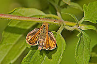 389390007 a wild female fiery skipper hylephila phyleus perches on a flower at  the naba site in mission hidalgo county lower rio grande valley texas united states