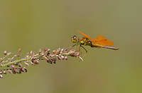 304570023 a wild male mexican amberwing perithemis intensa perches on a flower stem along the edge of roper lake in roper lake state park cochise county arizona