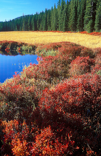Red brush and golden grasses on Skalkaho Pass in western Montana