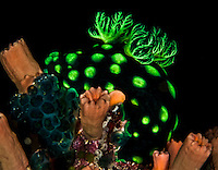 This green polka dotted nudibranch is an unusually colorful creature, Yap Micronesia  (Photo by Matt Considine - Images of Asia Collection)