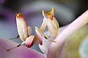 Malaysian Orchid Mantis {Hymenopus coronatus}  camouflaged on an orchid. Captive. Originating from Malaysia.