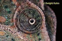CH51-712z Female Veiled Chameleon, note eye rotation, Chamaeleo calyptratus