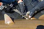 Measuring Shovelnose Guitarfish Clasper