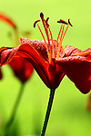 Asiatic Lilies, Red with natural green hue background from lawn