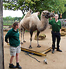 ZSL London Zoo Annual Weigh-in at London Zoo, Regent's Park, London, Great Britain <br /> 26th August 2015 <br /> <br /> Zoo Keeper Mick Tiley weighs a Camel  <br /> <br /> <br /> Photograph by Elliott Franks <br /> Image licensed to Elliott Franks Photography Services