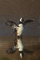 559287006 a male hooded merganser lophodytes cucullatus performs a wing flap at the edge of an estuary near santa barbara california