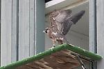 Peregrine falcon at UCSC