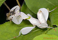 "0610-07vv  Malaysian Orchid Mantis Consuming Bee - Hymenopus coronatus ""Nymph"" - © David Kuhn/Dwight Kuhn Photography"