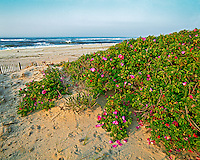 Rosa Rugosa on beach, Qougue, NY, 40x50 archival gicleé canvas, edition of 12: $2500.