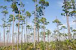 Grand Bahama Island, The Bahamas; Caribbean Pine (Caribaea vs bahamensis) trees and Sabal Palmetto (Cocothrinax argenta) plants cover nearly 50% of Grand Bahama