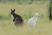 Red-necked Wallaby and Bennett's Wallaby (Macropus rufogriseus) white and dark forms together, Bruny Island, Tasmania, Australia