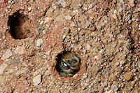 Solitary Bee in a burrow in the soil (Megachile parietina), Germany.