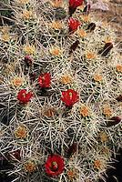 A cactus blooms in Canyonlands National Park, Utah.