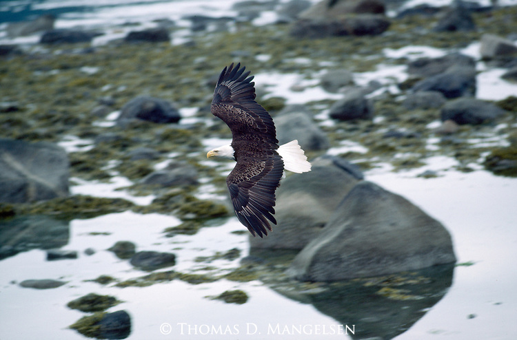 Bald eagle flies over water hunting for fish in Alaska.