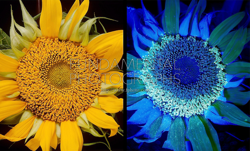 SUNFLOWER UNDER UV LIGHT<br />