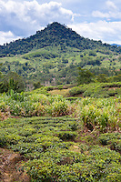 Mountainous landscape at Sabah Tea Plantation (tea bushes in foreground), Ranau, Sabah
