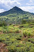 Sabah Tea Plantation