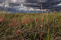 Prairie smoke and other native flowers bloom with the backdrop of a stormy sky on the Davis Ranch owned by Nature Conservancy.