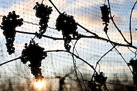 Silhouettes of Vidal ice wine grapes still on the vine and behind a protective netting. January 15, 2012. © Allen McEachern.