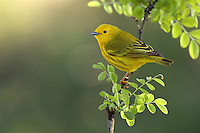 Although many warblers are yellow, the Yellow Warbler is the most extensively yellow of any species.